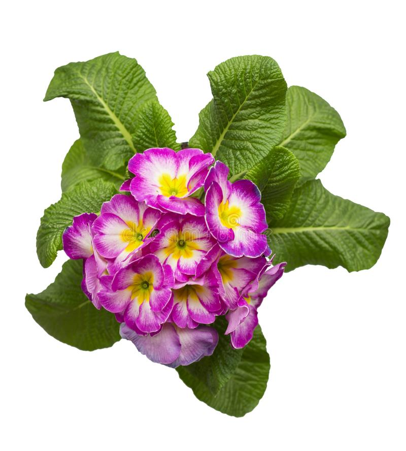 Primulas isolated on white background. spring flowers primrose. royalty free stock photos
