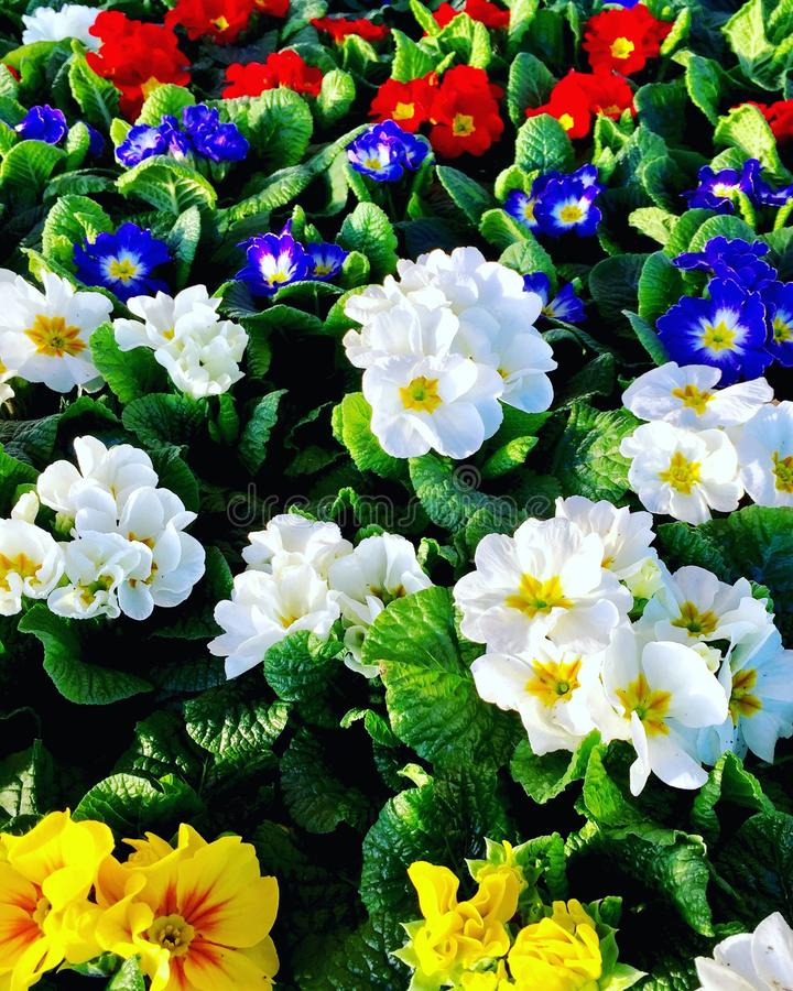 Primulas - Primroses στοκ εικόνες με δικαίωμα ελεύθερης χρήσης