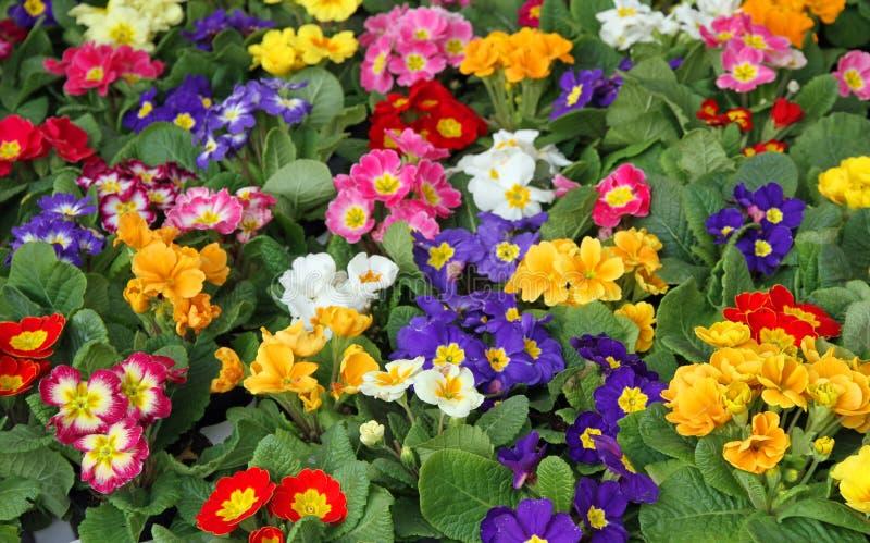 Primulavår för många blommor i grossist 2 royaltyfri fotografi