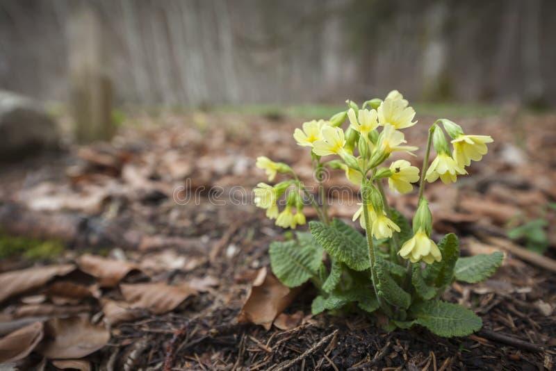 Primulaveris på brun lövverk arkivfoto