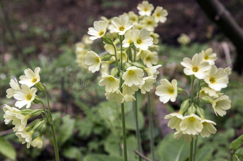 Primulaveriselatior i blom royaltyfri foto