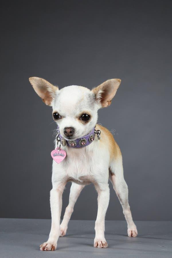 Princesa Chihuahua imagens de stock