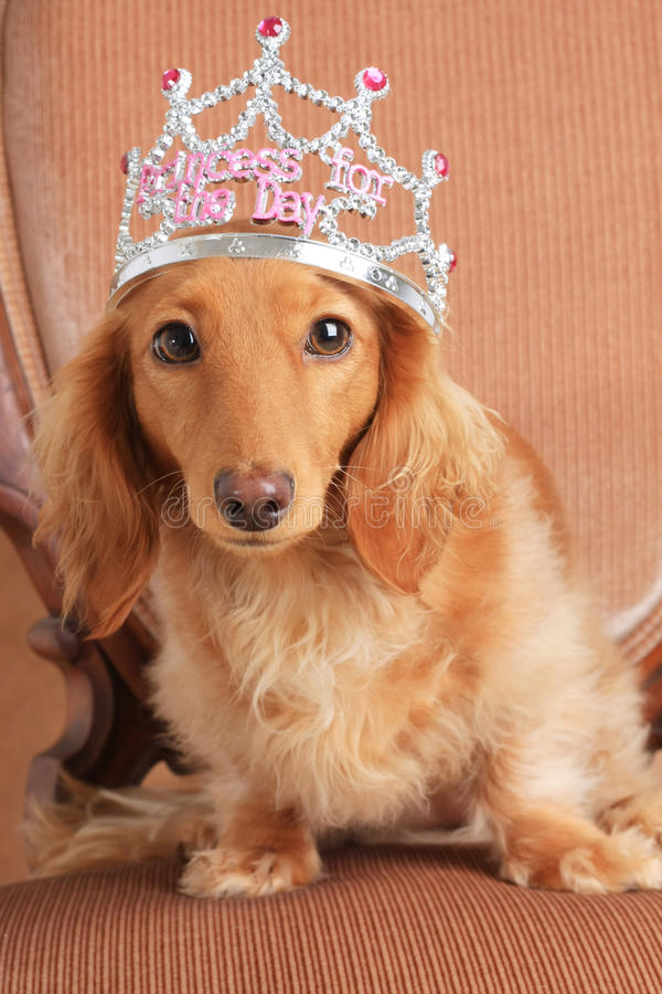 Princesa do Dachshund foto de stock