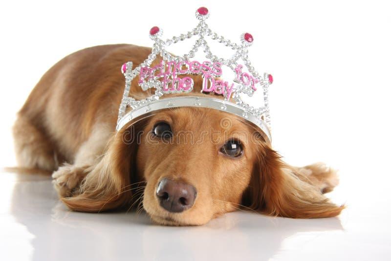Princesa do Dachshund fotos de stock