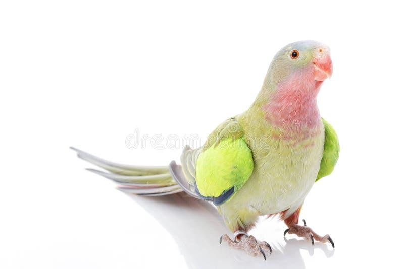 Princesa do Parakeet de Wales foto de stock royalty free