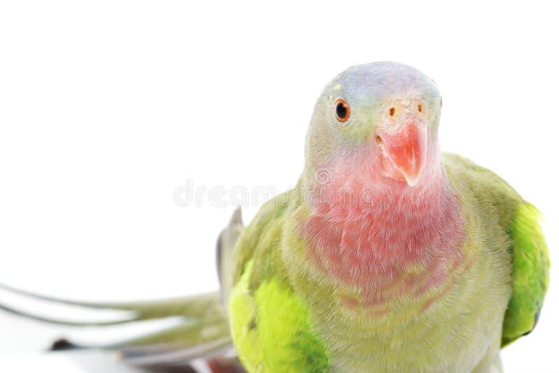 Princesa do Parakeet de Wales fotografia de stock
