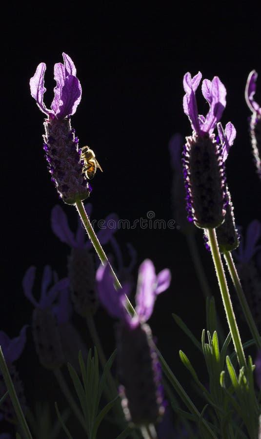 Princesa Lavender e uma abelha foto de stock