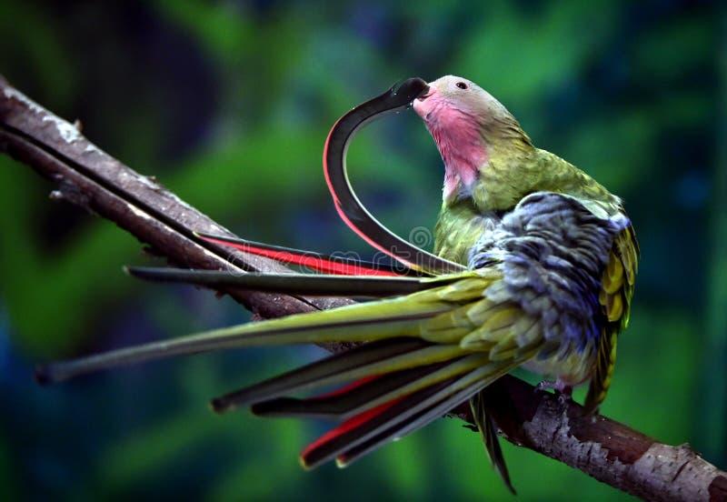 Princesa Parrot imagem de stock royalty free
