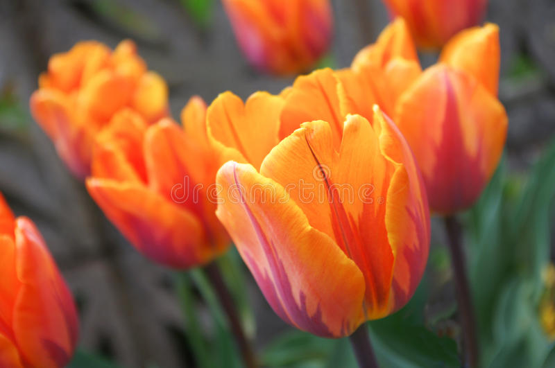 Princess Irene Tulips. With one in focus and others blurred as bokeh beyond stock image