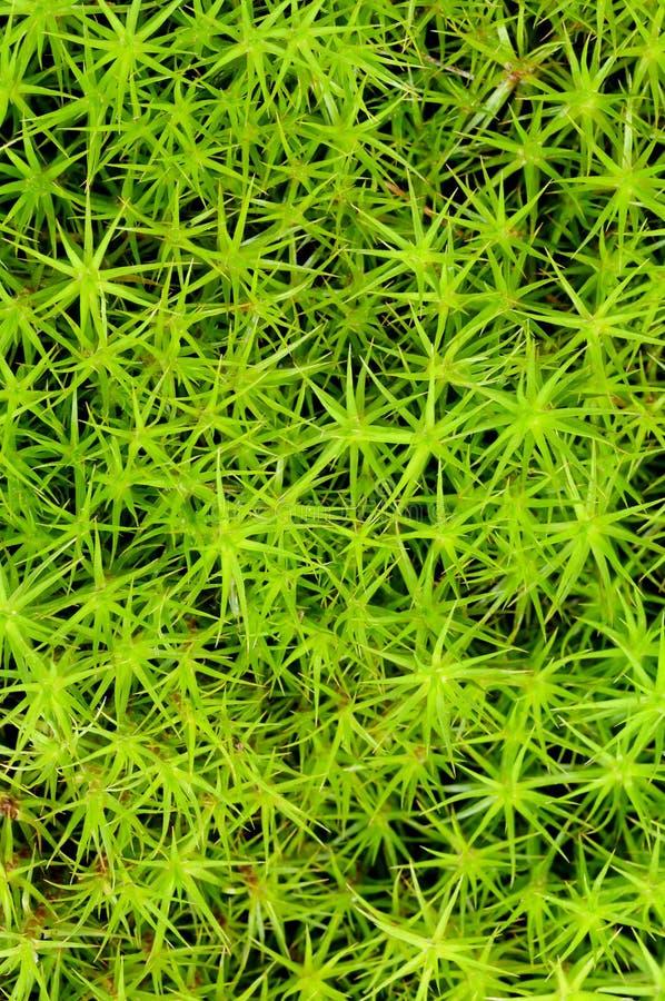 Princess pine or ground moss