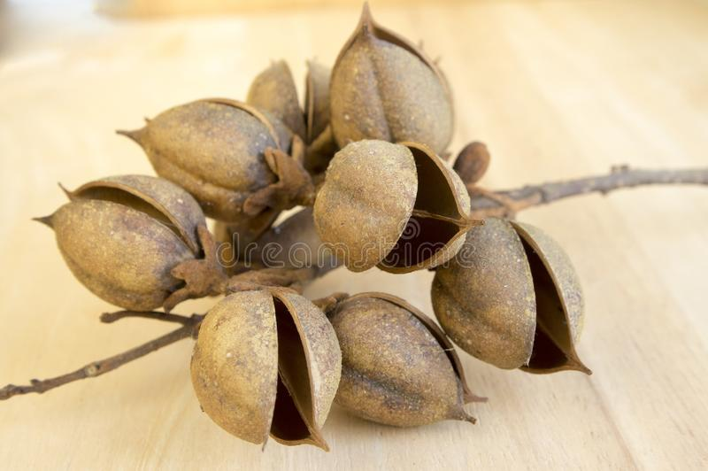 Princesstree,毛地黄属植物,女皇树, kiri,泡桐属tomentosa果子,与种子的蛋形胶囊 库存图片