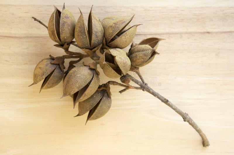 Princesstree,毛地黄属植物,女皇树, kiri,泡桐属tomentosa果子,与种子的蛋形胶囊 免版税图库摄影