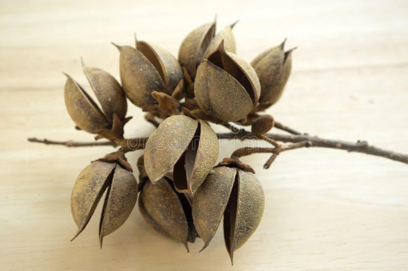 Princesstree,毛地黄属植物,女皇树, kiri,泡桐属tomentosa果子,与种子的蛋形胶囊 免版税库存照片