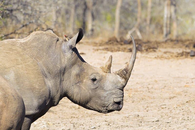 Principal branco e ombros do rinoceronte foto de stock royalty free
