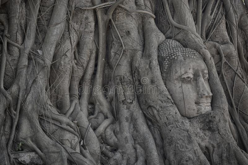 Principal demasiado grande para su edad por la higuera en Wat Mahathat que localizó en el parque histórico de Ayutthaya, el templ imagen de archivo libre de regalías