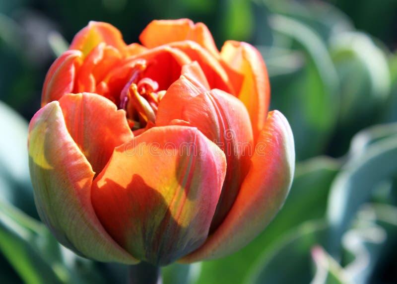 Principessa arancio Tulip immagini stock