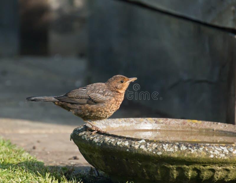 Principiante europeo del merlo che beve dalla vaschetta per i uccelli fotografie stock