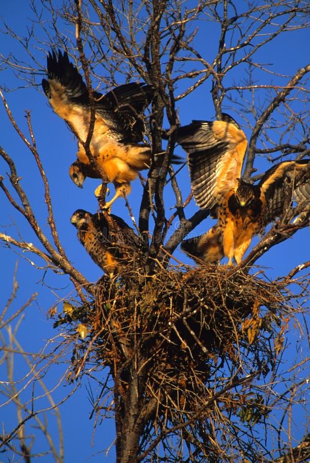 Principiantes do falcão de Swainson no ninho foto de stock