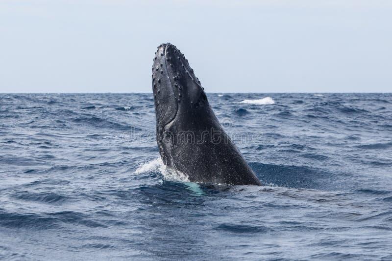 Principio de la ballena jorobada a violar imágenes de archivo libres de regalías