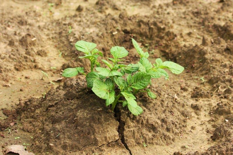 Principio de la planta de patata a crecer imagen de archivo libre de regalías