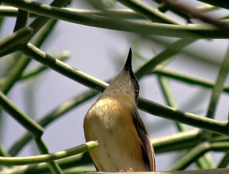 Prinia cinereo nell'uccello di anticipazione immagine stock