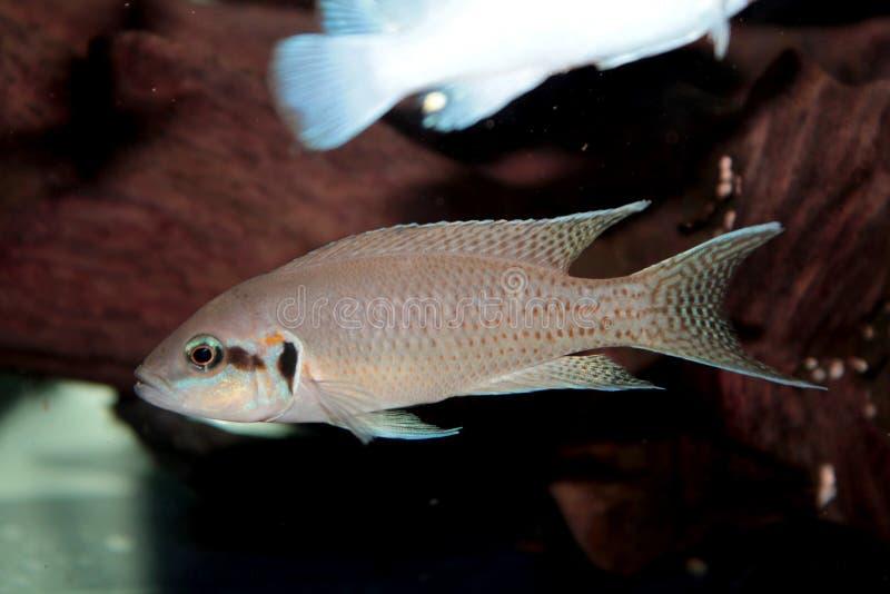 Prinses het aquariumvissen van van Burundi (Neolamprologus-brichardi) stock fotografie