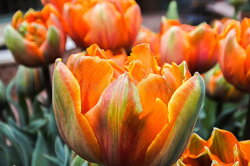 Prinses Irene Pastel Colored Tulips. A group of Prinses Irene pastel rainbow tulips in macro focus leaning against each other royalty free stock images