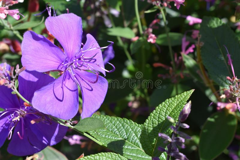 Prinsessa Flower Glory Bush royaltyfri fotografi