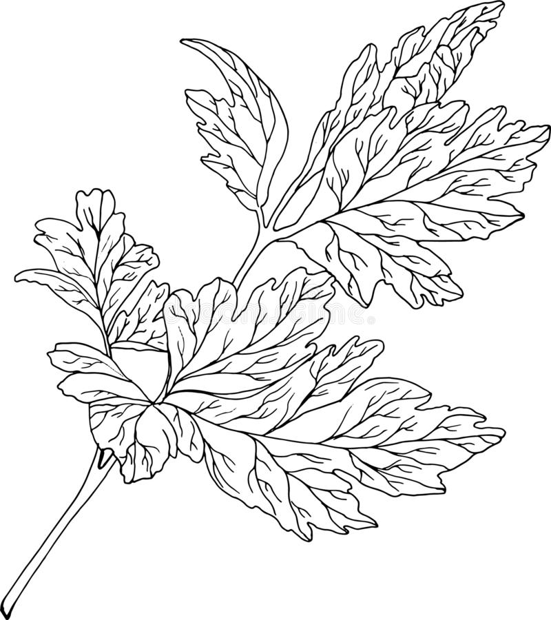 Parsley branch on a white background stock images
