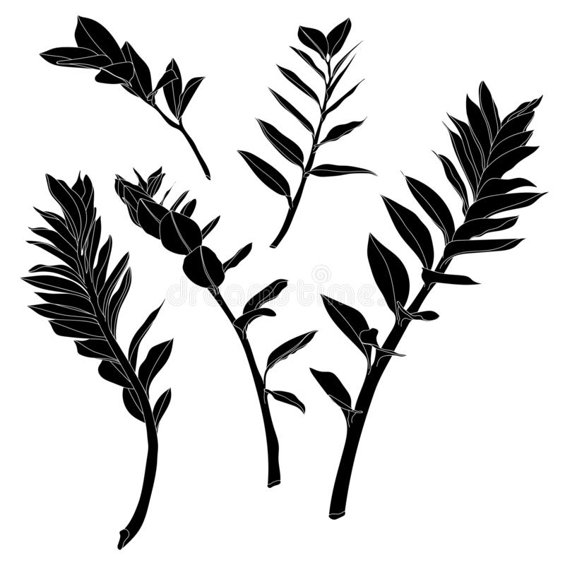 Black line tropical zamioculcas leaves on white background. stock illustration