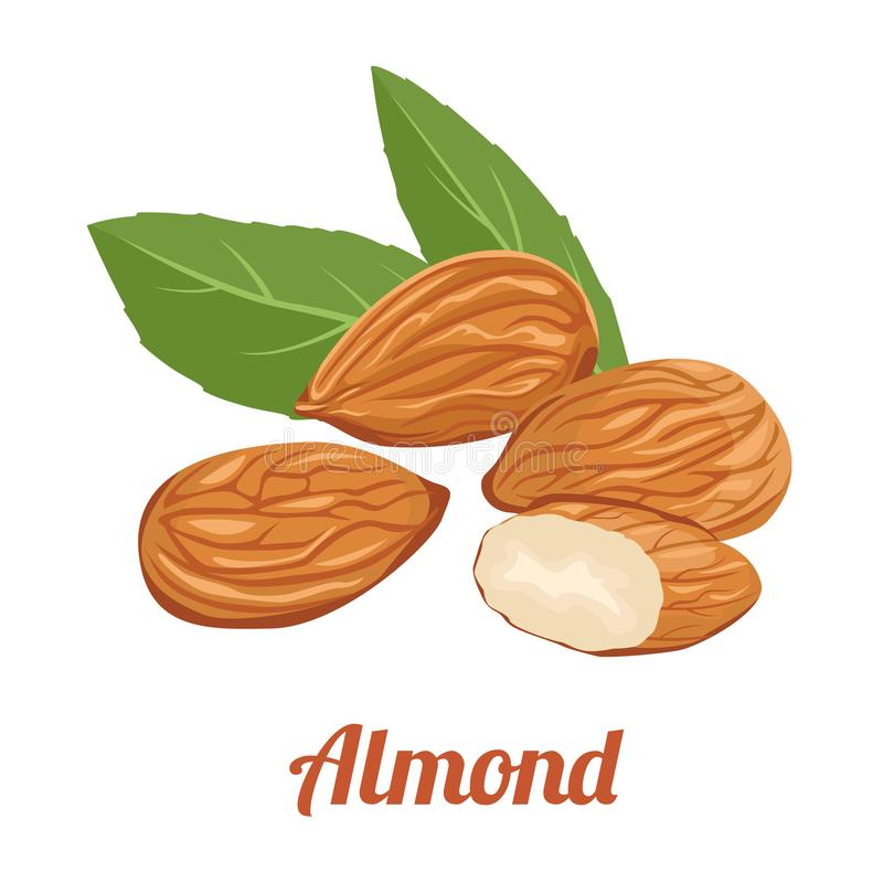 Almond Vector illustration. Raw nuts in cartoon flat style. Almond. Whole and half nuts, green leaves. Vector illustration of raw nuts in cartoon simple flat stock illustration