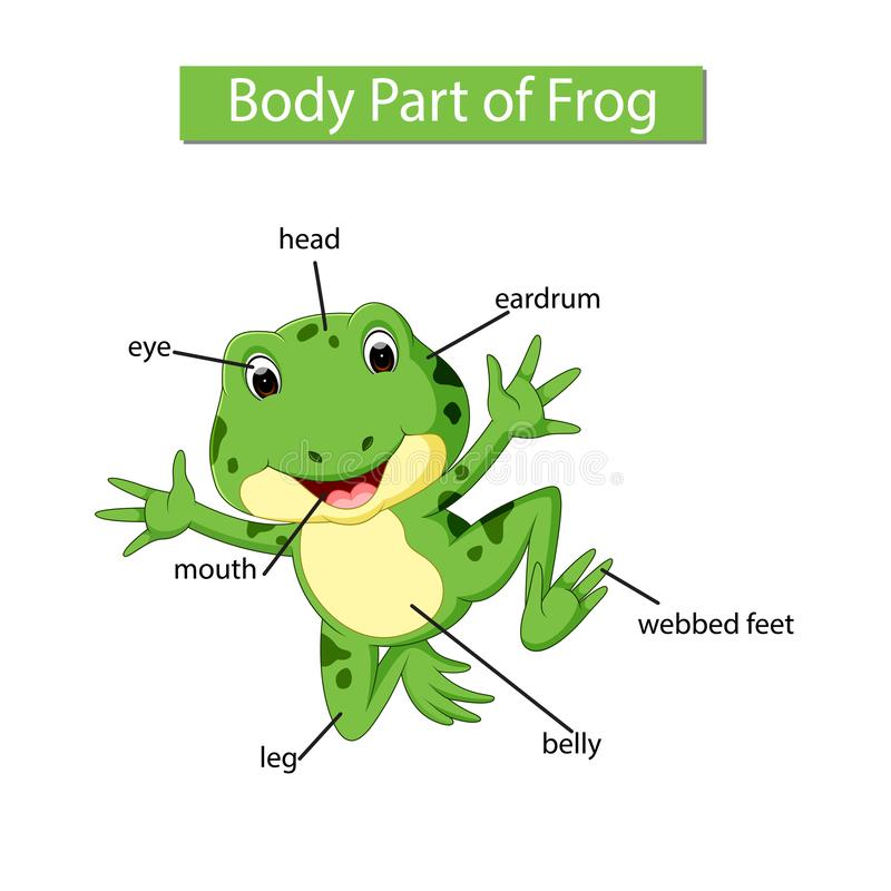 Frog Anatomy Labelled Stock Illustration  Illustration Of Care