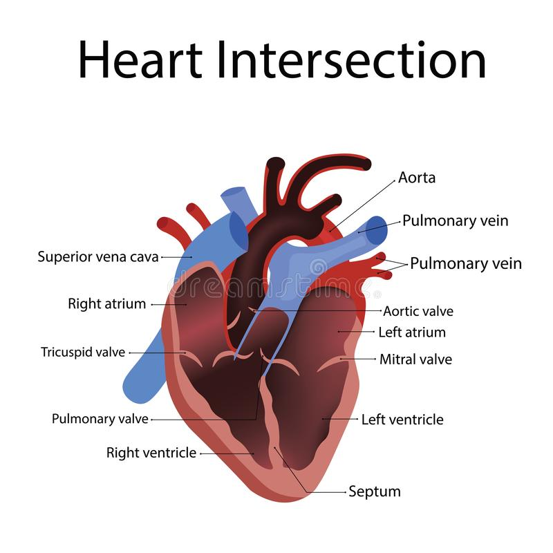 Heart anatomy and types of heart disease vector illustration. Isolated on white vector illustration