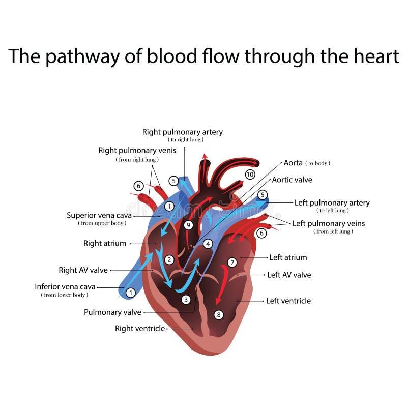 Heart anatomy and types of heart disease vector illustration. Isolated on white stock illustration