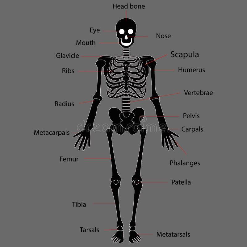 Human skeleton system on white background stock illustration