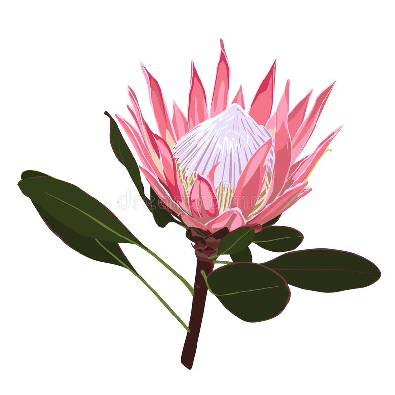 Exotic Africa protea flowers isolated. stock illustration