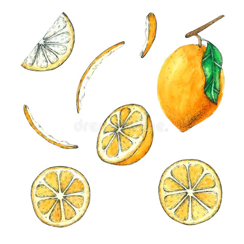Lemon watercolor collection Hand drawn painting royalty free illustration