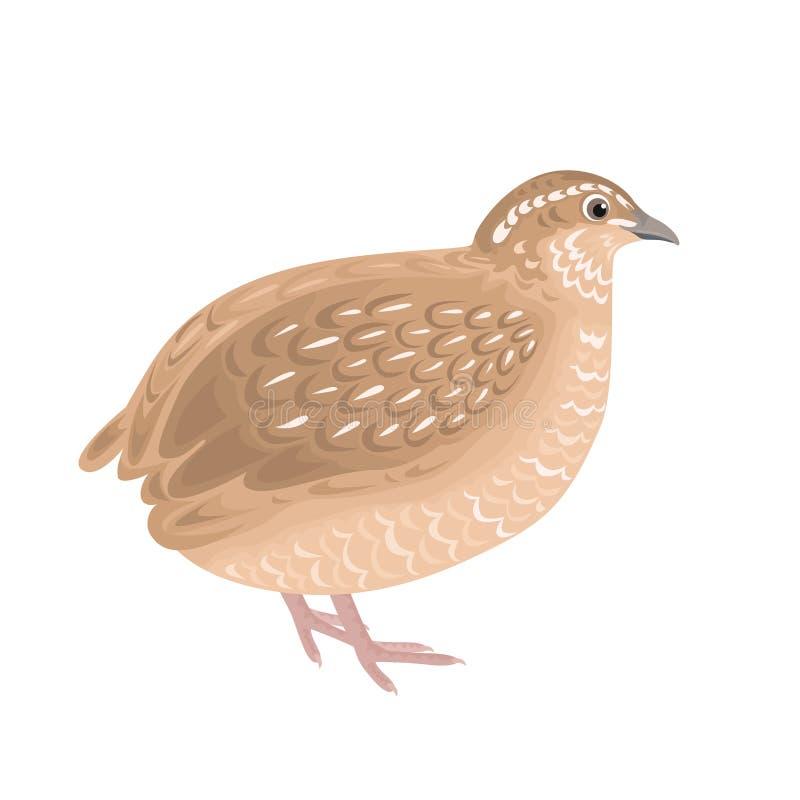 Vector quail isolated.  Illustration of domestic farm bird vector illustration