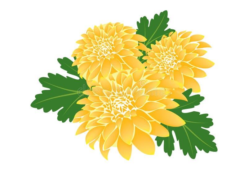 Chrysanthemun flower illustration Vector stock images