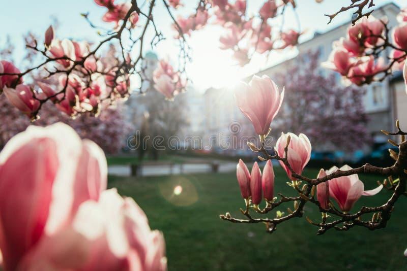 Printemps : Arbre de floraison avec les fleurs roses de magnolia, beaut? image stock