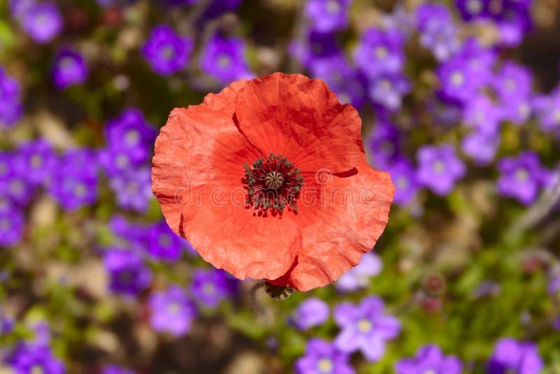 printemps Les pavots dans un domaine avec le pourpre fleurit l'Italie photos libres de droits