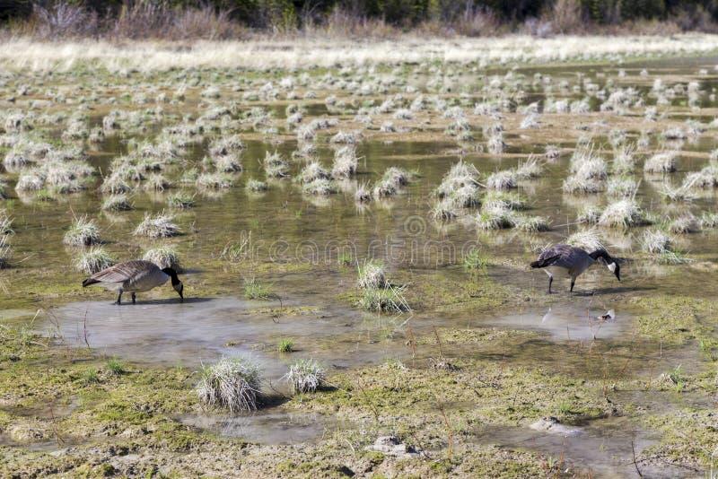 Printemps sauvage canadien d'oiseaux d'oies alimentant dans la prairie naturelle d'Alberta Foothills images libres de droits