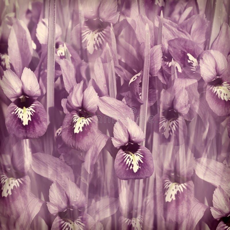 Printemps violet floral d'iris de matin photos libres de droits