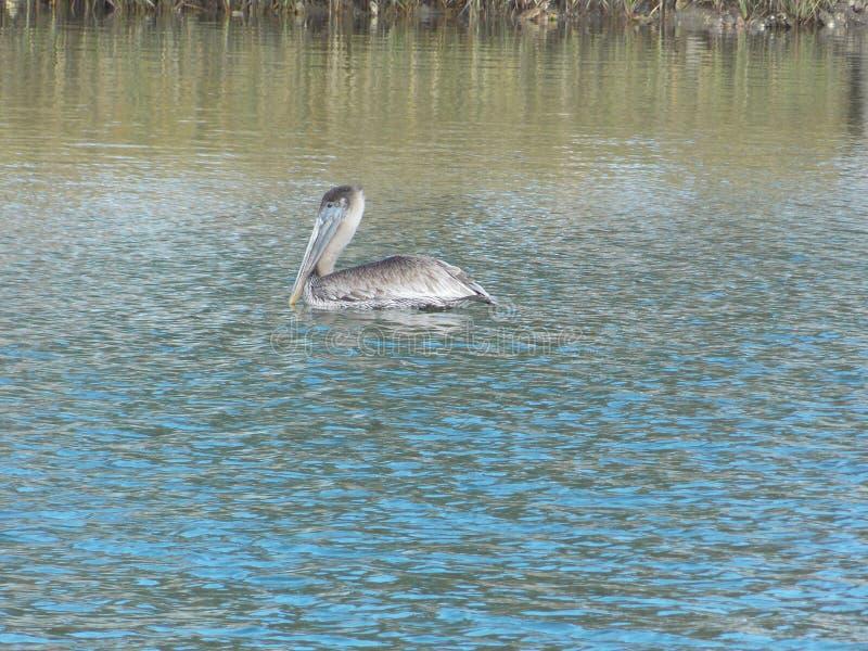 Prinz des Friedenspark-Pelikans stockfoto