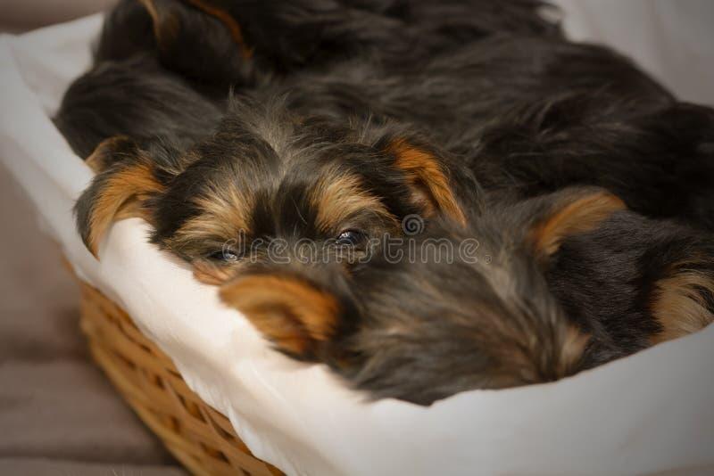 Priorità alta di un cucciolo sonnolento dell'Yorkshire terrier fotografia stock libera da diritti