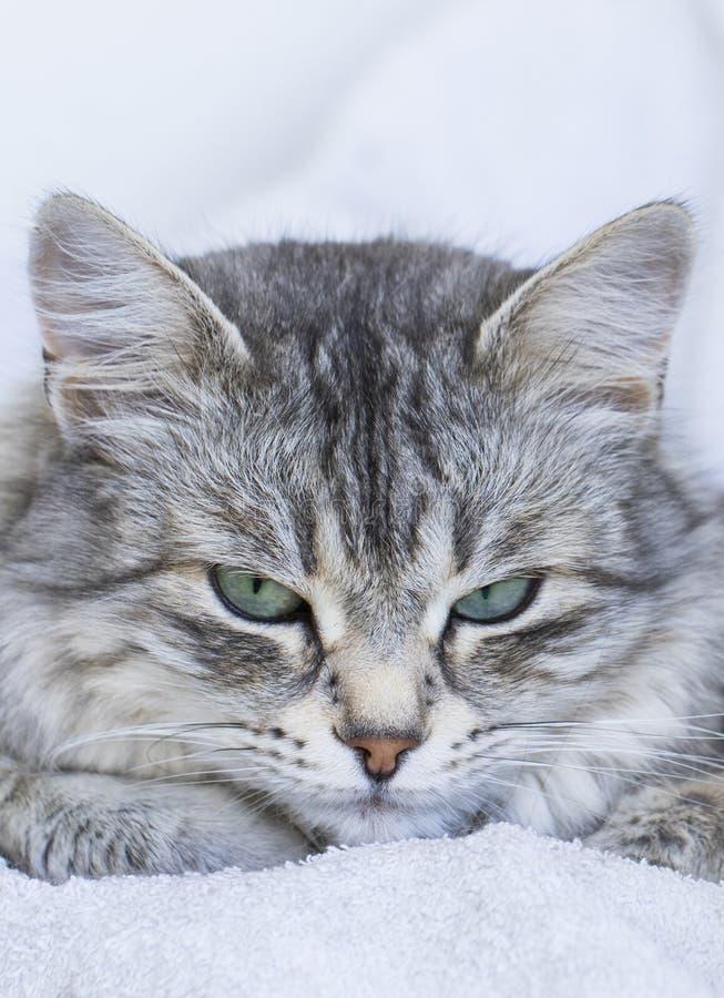 Priorità alta di un fronte femminile d'argento splendido con gli occhi verdi, purosangue siberiano del gatto fotografia stock libera da diritti