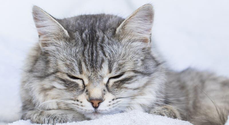 Priorità alta di un fronte femminile d'argento splendido nel tempo di sonno, purosangue siberiano del gatto fotografia stock