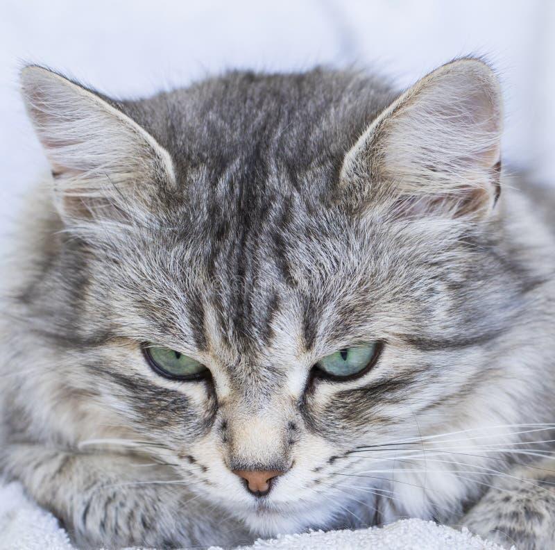 Priorità alta di un gatto femminile d'argento splendido con gli occhi verdi, purosangue siberiano fotografie stock