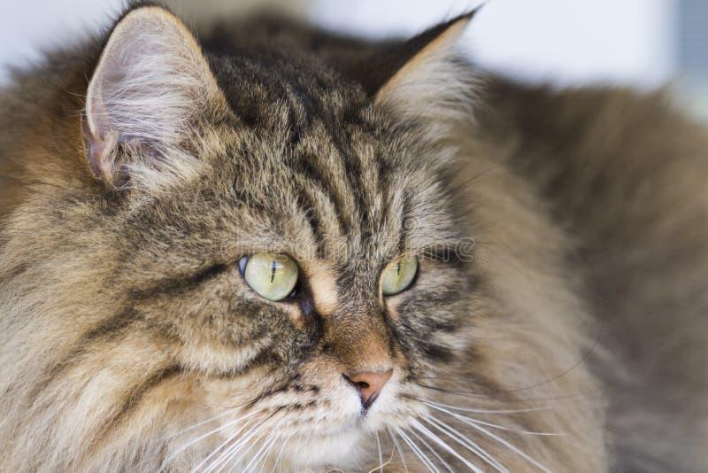 Priorità alta marrone del gatto di bellezza, animale domestico maschio siberiano fotografie stock libere da diritti