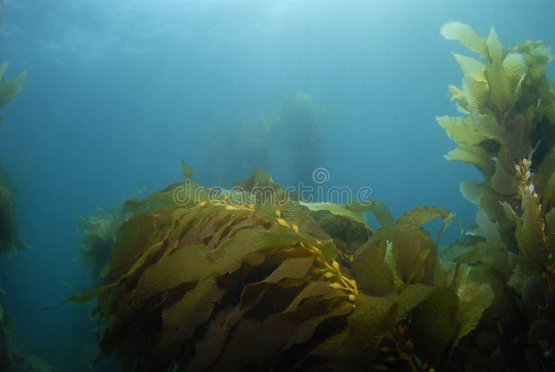 Priorità bassa 3 del kelp fotografia stock libera da diritti